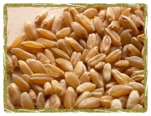 Durum Wheat Grain crop 041