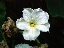 Kaddoo flower