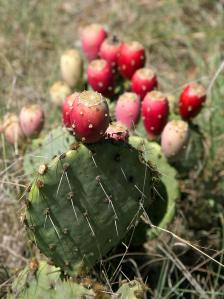 Prickly pear cactus in Texas, courtesy of PDPhoto.org