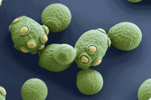 Saccharomyces cerevisiae -- the brewer's and baker's yeast from MicrobiologyOnline.org