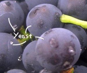 Yeast on grapes from www.providentliving.org.nz/