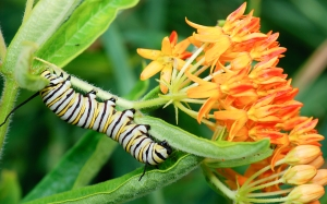 Monarch caterpillar on milkweed (source: Wikimedia Commons)