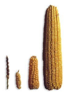 Teosinte to corn (source: http://www.kukurydza.org)
