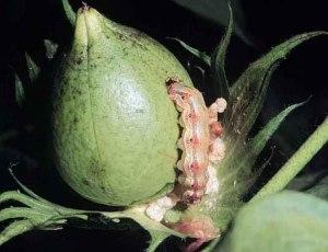 A bollworm feast