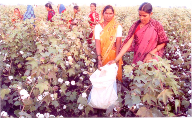 Sudhindra's Bt cotton farm