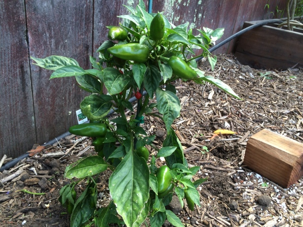 Fresno chilies growing in my yard