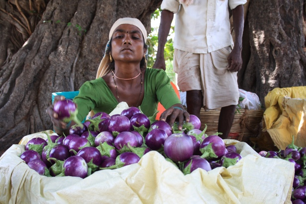 Farmworker in Sejwat, Gujarat, India (source: Wikimedia commons, user Arne Hückelheim)